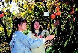 柿の木オーナー制度